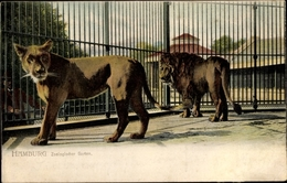 Cp Hamburg, Zoo, Löwen Im Käfig - Autres