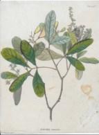 Botanique,Simaba Orinocensis - Vieux Papiers
