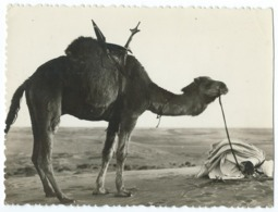 41 - Collection Saharienne - Dernière Prière Avant Le Départ - Chameau - Animée - CPSM N&B -Scan Recto-Verso - Sahara Occidental