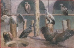 VOGEL Bird Oiseau Gier Vultures Vulture London Zoo ? Tiergarten Dierentuin Zoological Garden Jardin Zoologique Zoologie - Vogels