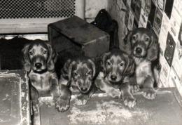 Photo Originale 30 Millions D'Amis, Chien & Chiots Setter Irlandais Rouge Pour Une Photo De Famille Vers 1950 - Anonyme Personen