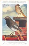 Belgie Museum, Phoenicurus Ochrurus Gibraltariensis, Black Redstart, Birds - Other