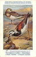 Belgie Museum Arenaria Interpres Interpres, Ruddy Turnstone, Birds - Other