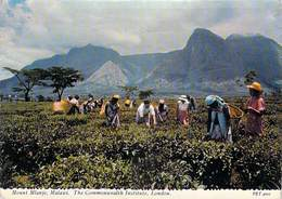 Afrique > MALAWI Mount Mlanje Tea Picking (Cueillette Du Thé) - Editions VALENTINE'S *PRIX FIXE - Malawi