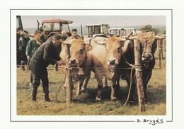 CANTAL Concours Departemental De La Race Aubrac A PAULHENC  En 1996  ( Elevage Pecoul) - Francia