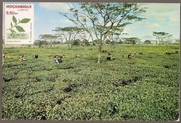 Mozambique & Maxi Card, Agricultural Riches, Tea, Camellia Sinensis ((6868) - Plants