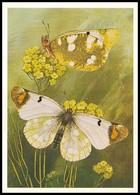 BUTTERFLY - PAPILLON Zegris Eupheme Esp. Artist L. Aristov. Unused Postcard (USSR, 1983) - Vlinders