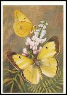 BUTTERFLY - PAPILLON Colias Erate Esp. Artist L. Aristov. Unused Postcard (USSR, 1983) - Vlinders