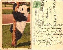 Giant Panda, Brookfield Zoo, Chicago, Illinois - Chicago