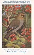 Bohemian Waxwing Bombycilla Garrulus Rare WW2 Bird Postcard - Vogels