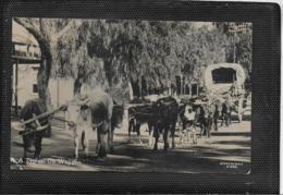 AK 0371  A Typical Ox Transport - ( Ochsen-Transport ) Um 1930 - Kühe