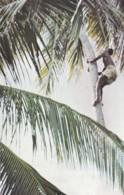 TANZANIA - KILWA MASOKO. CLIMBING FOR COCONUTS - Tanzania