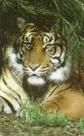 LIBERIA - THEMATIC ANIMALS - TIGER - Liberia