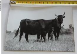 Photos Année 50 De 10,5 X 15 Centimètres Noir Et Blanc Taureaux En Camargue . - Photos