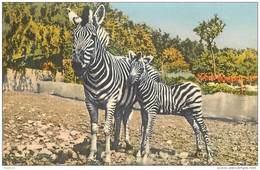 ANX1     111   ZEBRES  /  Par STEHLI  SUISSE  . /  Années 40/50 - Zebras