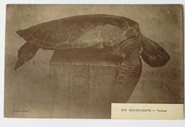 C. P. A. : GUADELOUPE : TORTUE, N° 312 - Schildpadden