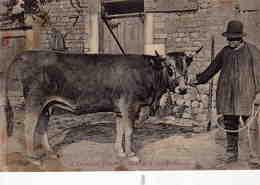 L'élevage En Poitou , Vache De Race Parthenaise - Autres Communes