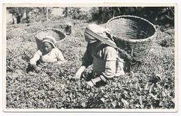 India - Tea Farm. Older Real Photo, Postally Used, Interesting Message - India