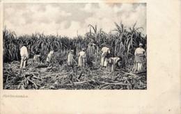 U.S.A. - LA - New Orleans - Cutting Sugar Cane - La Récolte De La Canne à Sucre - New Orleans