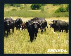 RWANDA - Buffaloes In Akagera National Park Used Postcard As Scans - Rwanda