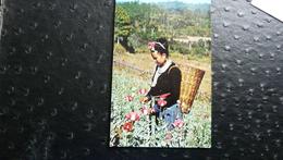 Opium Poppy Plants Field At The Golden Tringle - Laos