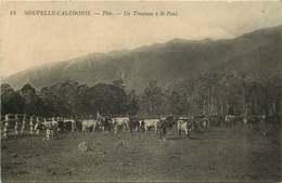 NOUVELLE CALEDONIE  THIO Un Troupeau A Saint Paul - Nouvelle-Calédonie
