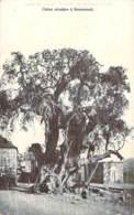Liban - Broummana - Chêne Séculaire à Broumanah - Líbano