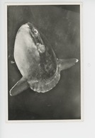 Mola : Poisson-lune - Aquarium De Monaco (cp Vierge) - Vissen & Schaaldieren