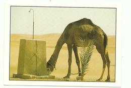 Marruecos. Animales. Camello. - Marrakech