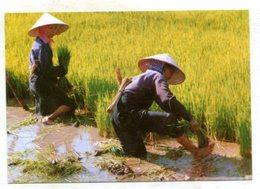 VIETNAM - AK 368506 Picking Young Rice For Summer-autumn Crop - Vietnam