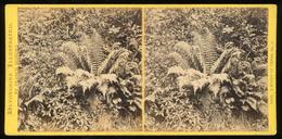 Stereoview - A Study Of Ferns DEVON By Francis Bedford - Stereoscopi