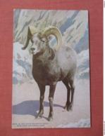 Big Horn Mountain Sheep  NY Zoo  Ref 3754 - Animals