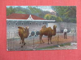 Camels At Krug Park St Joseph Mo.ref 3755 - Animals