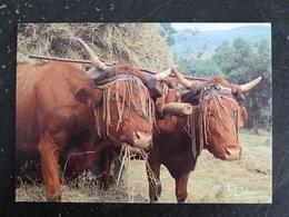 VACHE SALERS COW ATTELAGE - Koeien