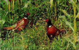 Birds Ring Necked Pheasants 1976 - Vogels