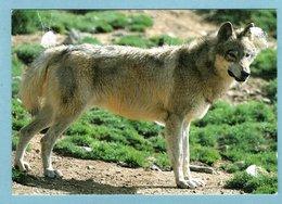 CP Animaux - Les Loups Du Gévaudan - Parc De Sainte Lucie 48 Marvejolos - Dieren