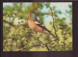 PINSON DES ARBRES - Vogels