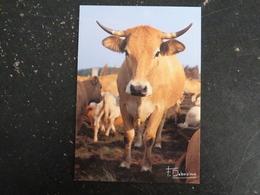 VACHE COW - Koeien