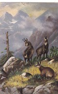 Jagd Chasse, Hunting. Steinbock Capricorn  Capricorne  A.Schönian Old Cpa. 1906 - Animales