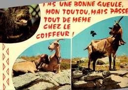 Animaux & Faune / CHEVRE  /LOT  3013 - Tierwelt & Fauna