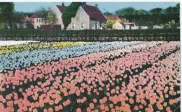 Groeten Uit De Tulpenvelden - Pays-Bas