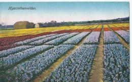 Hyacinthenvelden - J.V.A. - Pays-Bas