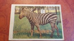 Zebra -1959 - Cebras