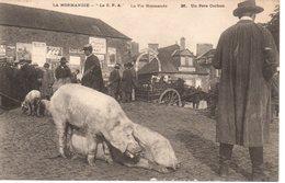 La Normandie. Un Père Cochon - Viehzucht