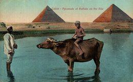 EGIPTO // EGYPTE. Cairo. Buffalo On The Nile Near Pyramids - El Cairo