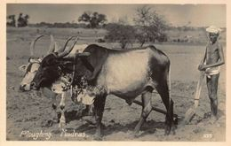 India Plougbing Madras Animals Cows Postcard - India