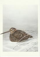 BECASSE DES BOIS - Uccelli