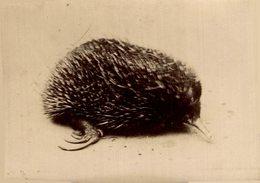ANIMAUX ANIMALS ANIMALES 9*7CM Fonds Victor FORBIN 1864-1947 - Otros