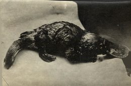 ANIMAUX ANIMALS ANIMALES 10*8CM Fonds Victor FORBIN 1864-1947 - Otros