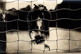 ZOO ANIMAUX ANIMALS ANIMALES 16*12CM Fonds Victor FORBIN 1864-1947 - Otros